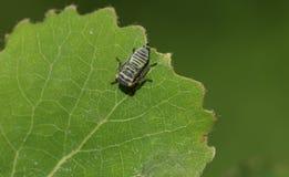 Een het overweldigen Gemeenschappelijke Froghopper Philaenus spumarius riep ook spittlebug of het insect van het koekoeksspit nee stock foto