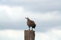 Een het overweldigen gier Stock Afbeelding