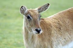 Een het overweldigen hert Royalty-vrije Stock Foto