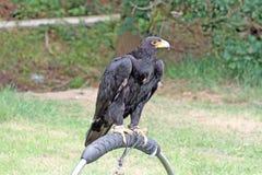 Een het overweldigen roofvogel Stock Afbeeldingen