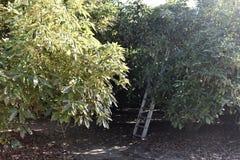 Een het plukken ladder die tegen een avocadoboom leunen in de schaduw stock afbeeldingen