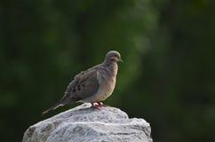 Een het Rouwen Duif op een rots Stock Foto