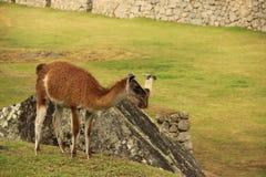 Een het rusten Lama bij ruines royalty-vrije stock foto's