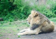 Een het rusten leeuw Stock Fotografie