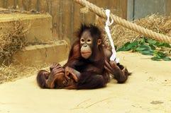 Een het spelen jonge orang-oetan -orang-oetan-utang Stock Foto's