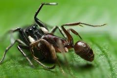 Een het springen spin die op een mier preying Royalty-vrije Stock Afbeelding
