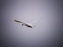 Een het vertrekken witte zwaan Stock Afbeelding