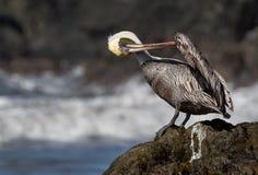 Een het verzorgen pelikaan op een rots Stock Foto's