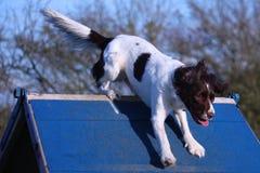Een het werk type Engelse het huisdierenjachthond die van het aanzetsteenspaniel over een behendigheids a-kader lopen Royalty-vrije Stock Foto's