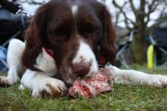 Een het werk type Engelse het huisdierenjachthond die van het aanzetsteenspaniel ruw voedsel eten Stock Foto's