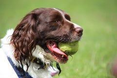 Een het werk type Engelse het huisdierenjachthond van het aanzetsteenspaniel met een gele tennisbal Stock Fotografie