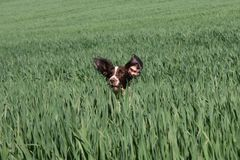 Een het Werk type Engelse het huisdierenjachthond van het aanzetsteenspaniel op een gebied van groene gewassen Stock Foto's
