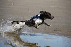 Een het Werk type Engelse jachthond van het aanzetsteenspaniel op een strand Stock Afbeelding
