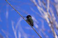 Een het zonnen Kolibrie Royalty-vrije Stock Fotografie