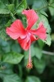 Een hibiscus groeit in een openbare tuin in New Delhi (India) Stock Fotografie