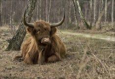 Een higlander in het bos Stock Foto's