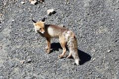 Een Himalayan-vos De tibetan rode vos Stock Fotografie