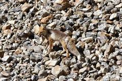 Een Himalayan-vos De tibetan rode vos Stock Afbeeldingen