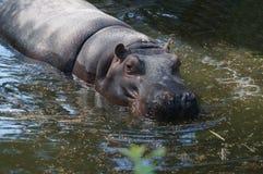 Een hippo bij de dierentuin in Rome, Italië Stock Afbeeldingen