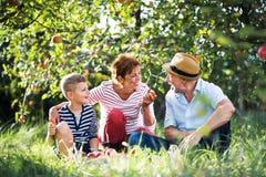 Een hoger paar met kleine kleinzoon die in appelboomgaard appelen eten stock afbeeldingen