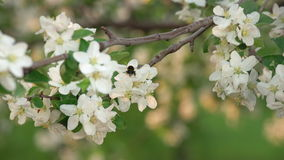 Een Hommel die Cherry Tree Flowers bestuiven stock video