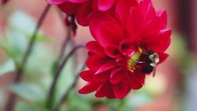 Een hommel die op een rode Dahliabloem voeden stock videobeelden