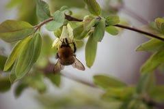 Een hommel garthering nectar bij kamperfoelie bloeit stock foto's