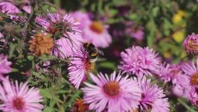 Een hommel op een roze bloem verzamelt nectar stock footage