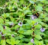 Een hommel verzamelt een nectar van een blauwe pepermuntbloem stock fotografie