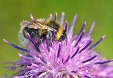 Een hommel verzamelt nectar van een bloem Stock Afbeeldingen