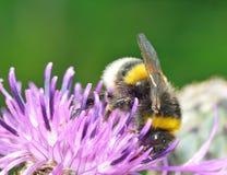 Een hommel verzamelt nectar van een bloem Royalty-vrije Stock Afbeeldingen