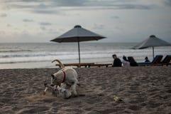 Een hond die een andere hond op het strand bijten royalty-vrije stock foto