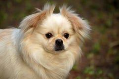 Een hond, die bij me staart Stock Foto's