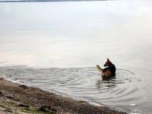 Een hond die in de oceaan lopen Stock Foto