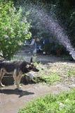 een hond die een douche neemt royalty-vrije stock foto