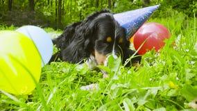 Een hond die in feestelijk GLB een been eten stock footage