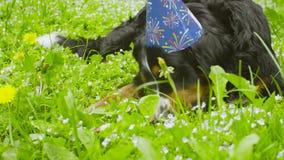 Een hond die in feestelijk GLB een been eten stock video