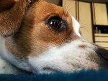 Een hond die op het bed, hefboom russel terriër liggen royalty-vrije stock afbeelding