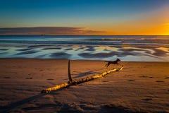 Een hond die over een dode houten tak bij strandochtend springen royalty-vrije stock fotografie
