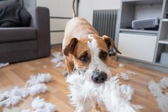 Een hond die een pluizig hoofdkussen thuis vernietigen royalty-vrije stock fotografie