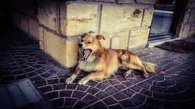 Een hond die ter plaatse geeuw leggen tonend de tong royalty-vrije stock foto