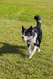 De Hond van border collie met de Bal van het Tennis bij Park Stock Foto's