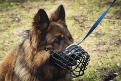 een hond die van de portretherder een gepantserde snuit voor de baan van veiligheidsagent dragen stock foto