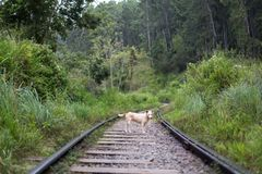 Een hond die zich op treinsporen bevinden in Ella, Sri Lanka royalty-vrije stock fotografie