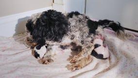 Een hond geeft geboorte aan een puppy stock videobeelden
