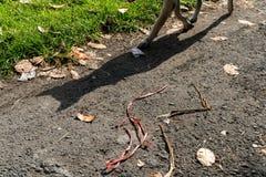 Een hond met zijn schaduw kruist een hete asfaltweg naast een groen gazon stock foto's