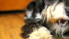 Een hond Mini Schnauzer stock videobeelden