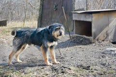 Een hond op een ketting Stock Foto's