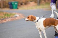 Een hond op een leiband die onderaan een straat met het lopen is Stock Foto