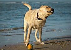 Een hond op een strand Stock Foto